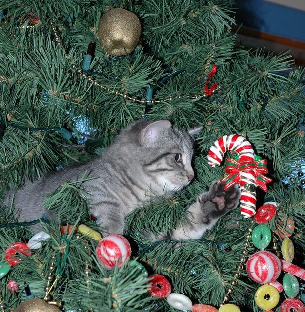 Gato gris jugando con un caramelo que está en el árbol de navidad