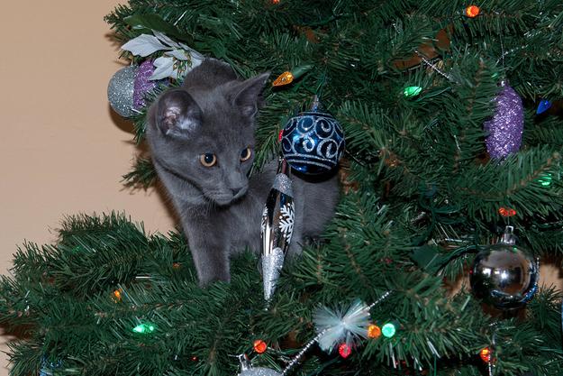 Gato gris arriba del árbol de navidad viendo fijamente una esfera
