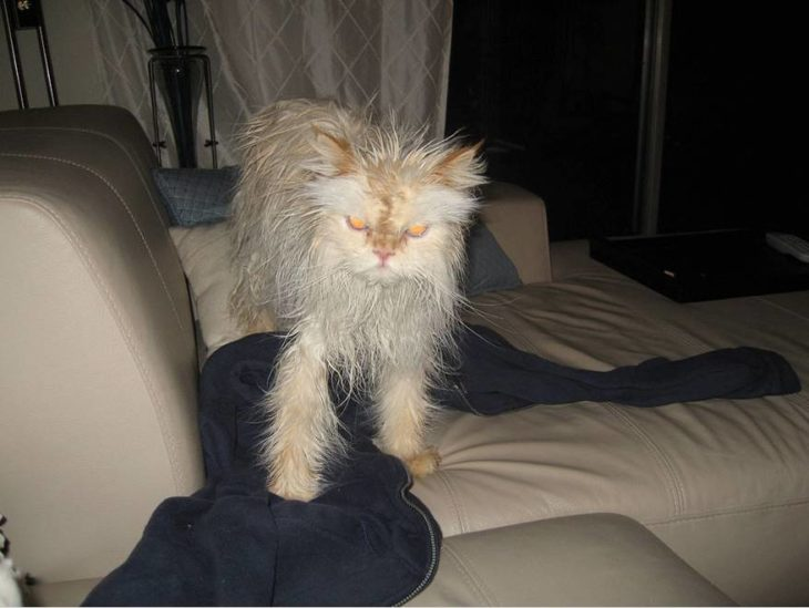 Gato mojado sobre el sillón