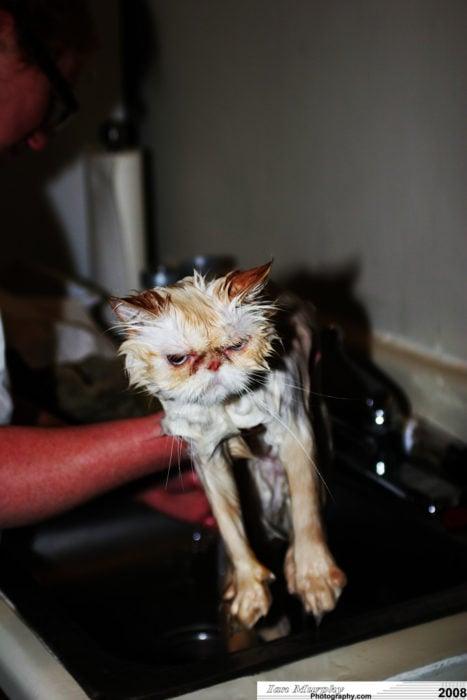 Gato blanco mojado y enojado