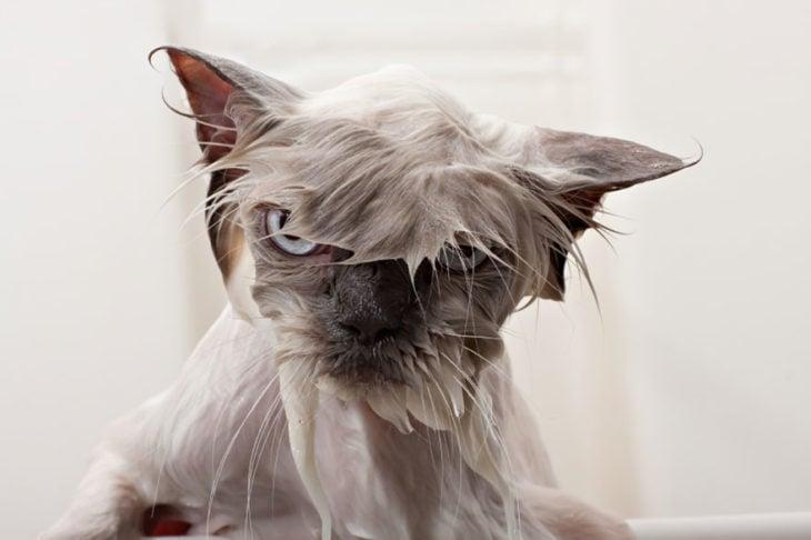 Gato mojado con cara de enojado