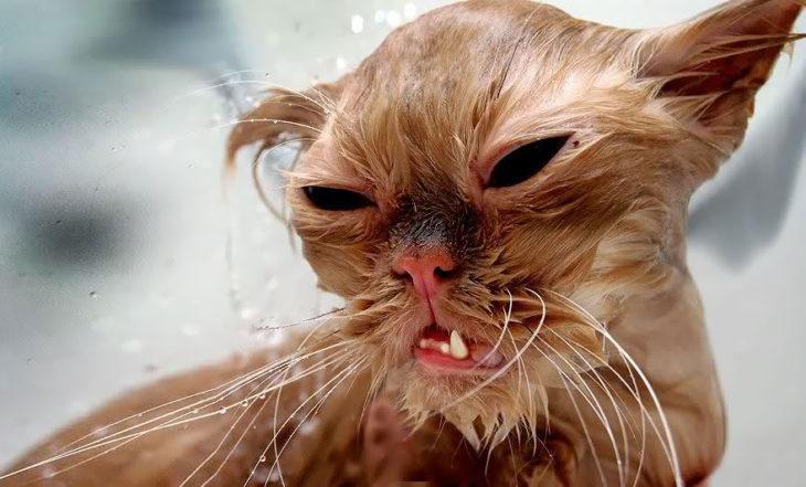 Gato café enojado porque está mojado