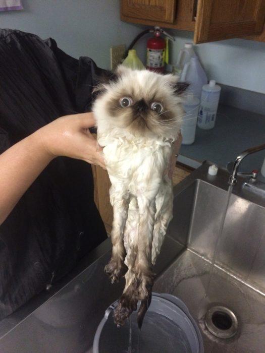 Gato esponjoso de la cabeza y mojado del cuerpo