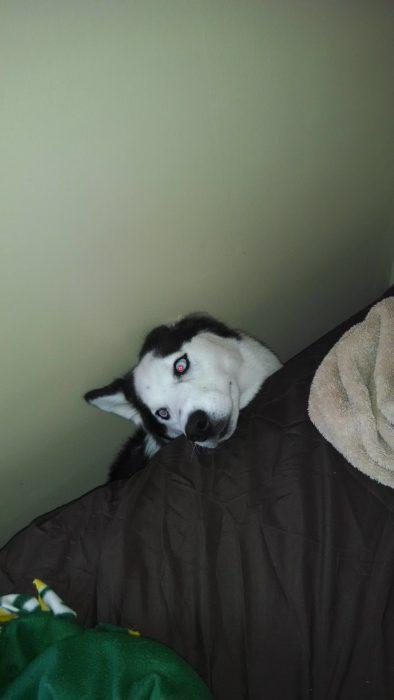 Husky en una orilla de la cama