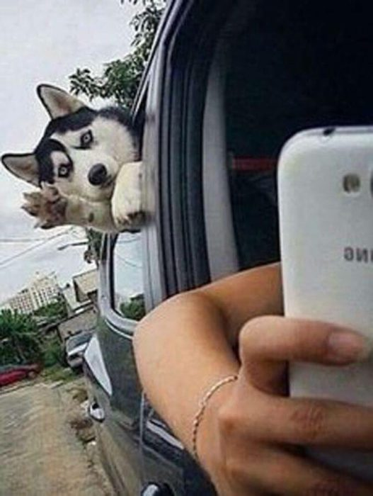 Husky saluda a la càmara