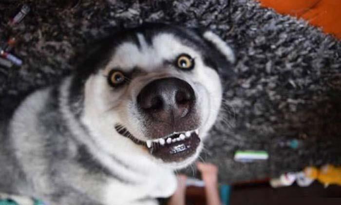 Husky sonriendo