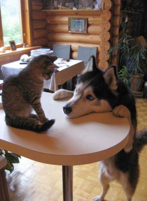 Husky mirando a un gato