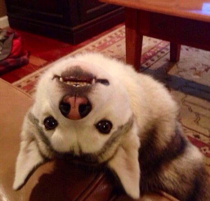 Husky volteando la cabeza