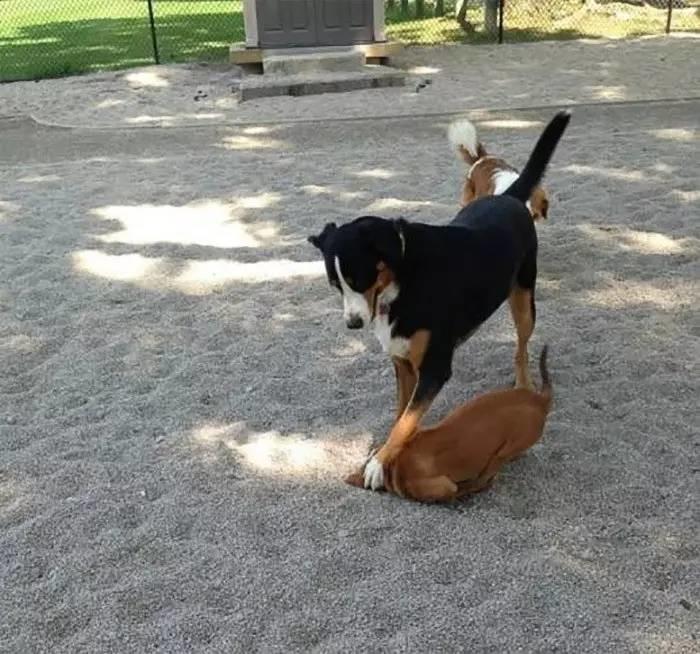 perro siendo ojete con otro perro