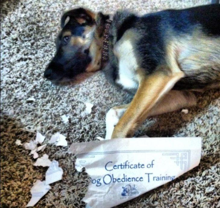 perro con certificado de obediencia