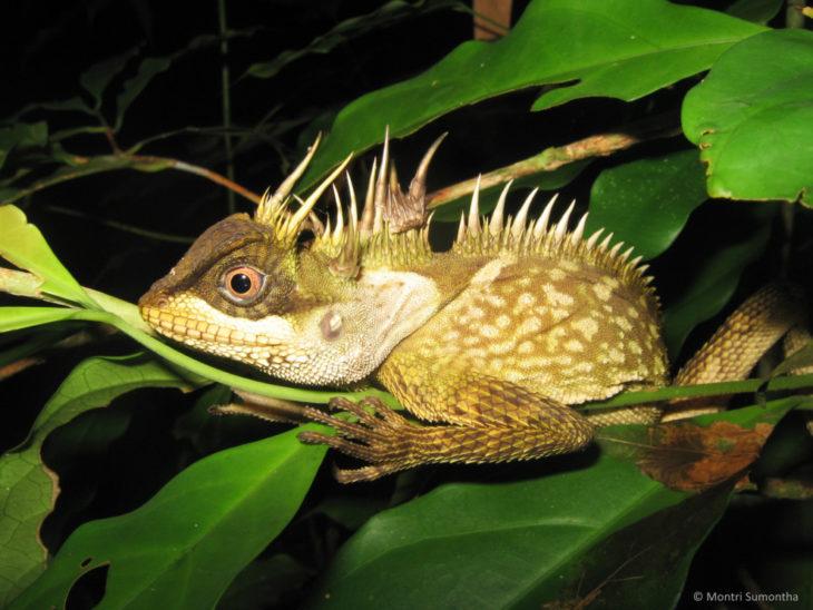 Iguana arbol de cuernos
