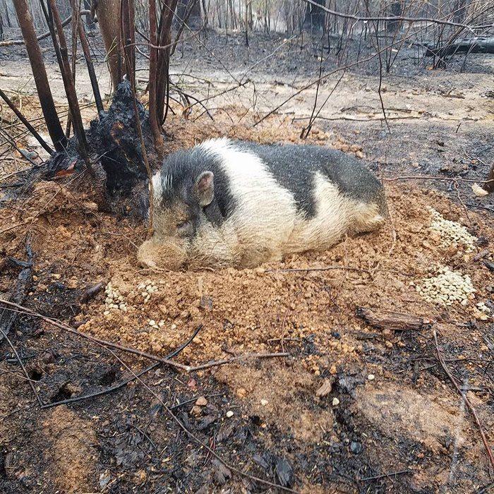 Cerdito se enterró a sí mismo para sobrevivir incendio