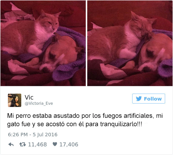 Tuits gatos 2016 -gato tranquilizando a perro