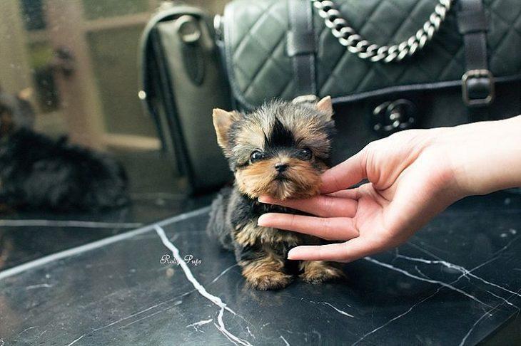 Perrito mini más chico que una bolsa
