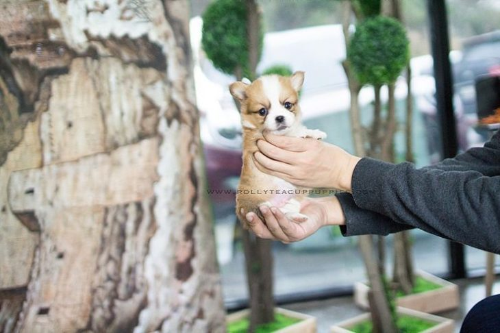 Perro del tamaño de una mano