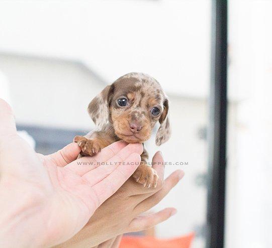 Perro en la mano cachorro mini