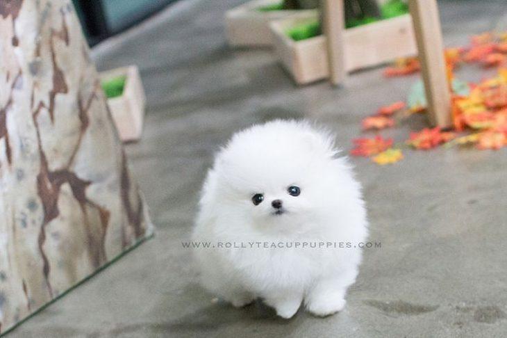 Perrito blanco bola de pelos