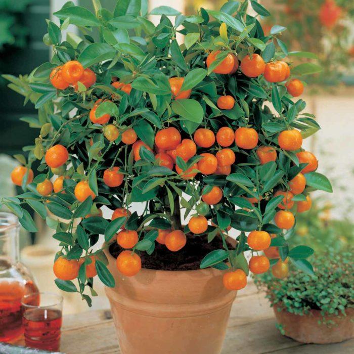 naranjo en maceta