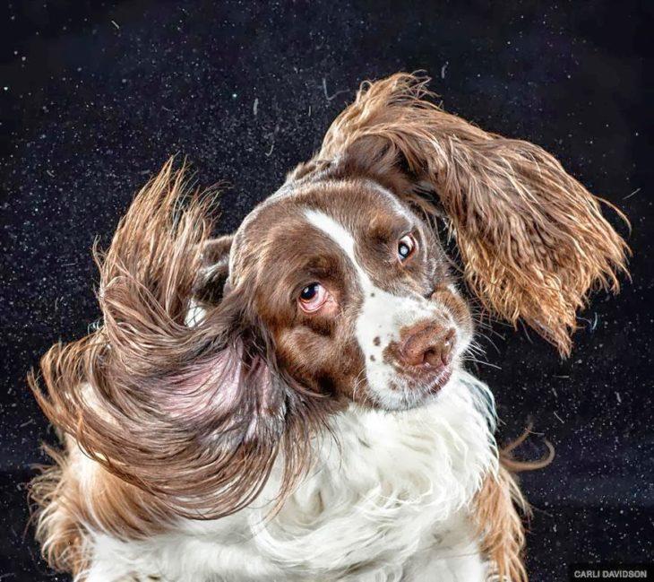 Un perrito sacude sus orejas frente a la cámara