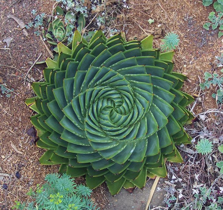 alloe-polyphylla