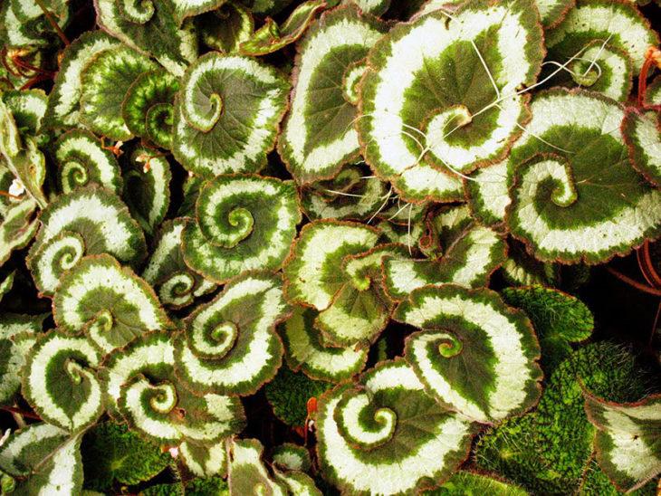 begonia-de-espiral