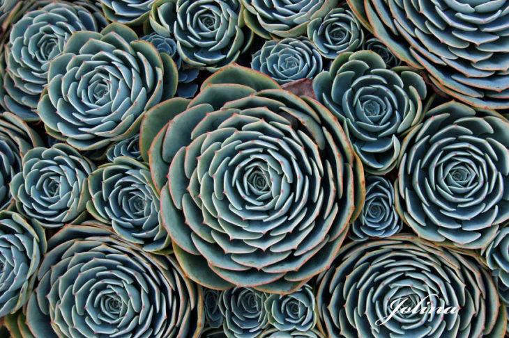 plantas-suculentas