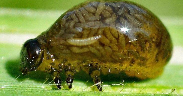 larva con muchas larvas