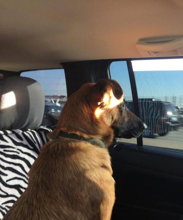 Perro pastor aleman sentado en un coche viendo por la ventana