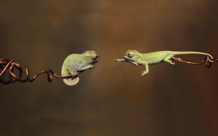 camaleones bebés