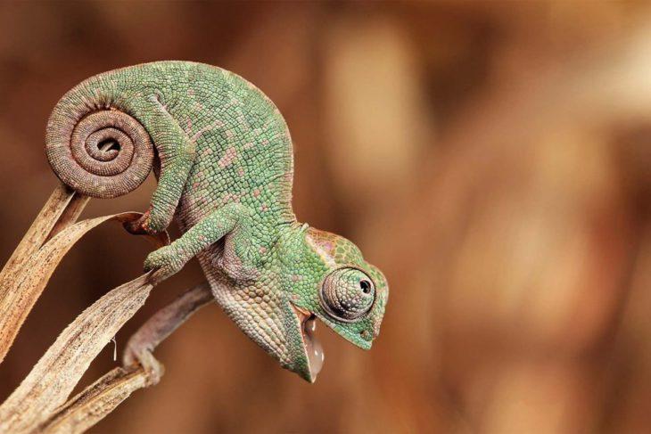 camaleón bebé a punto de comer su primera mosca