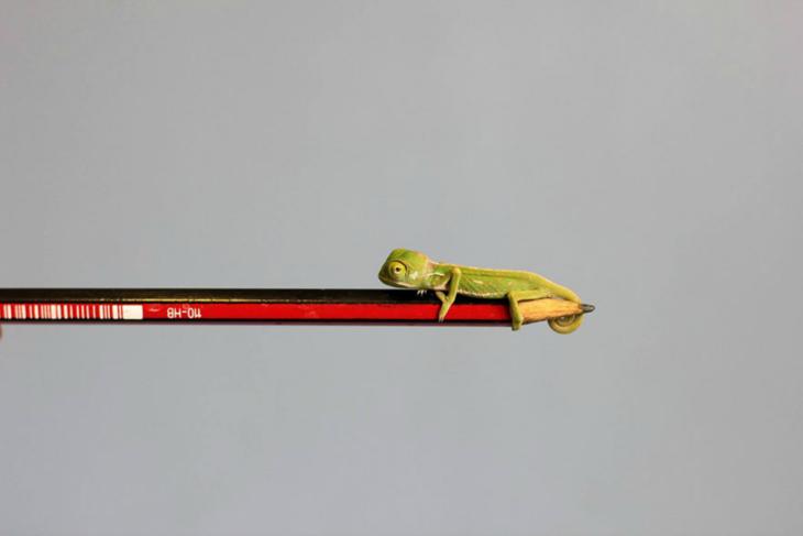 camaleón super pequeño
