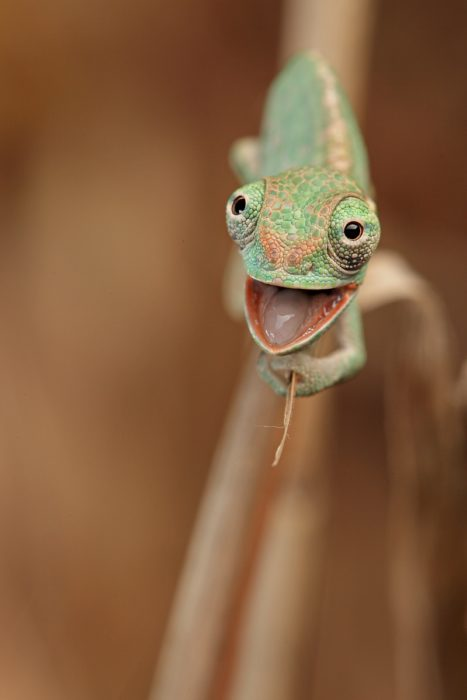 camaleón bebé emocionado