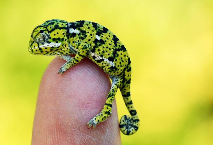 bebé camaleón que cabe en un dedo