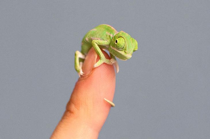 bebé camaleón diminuto