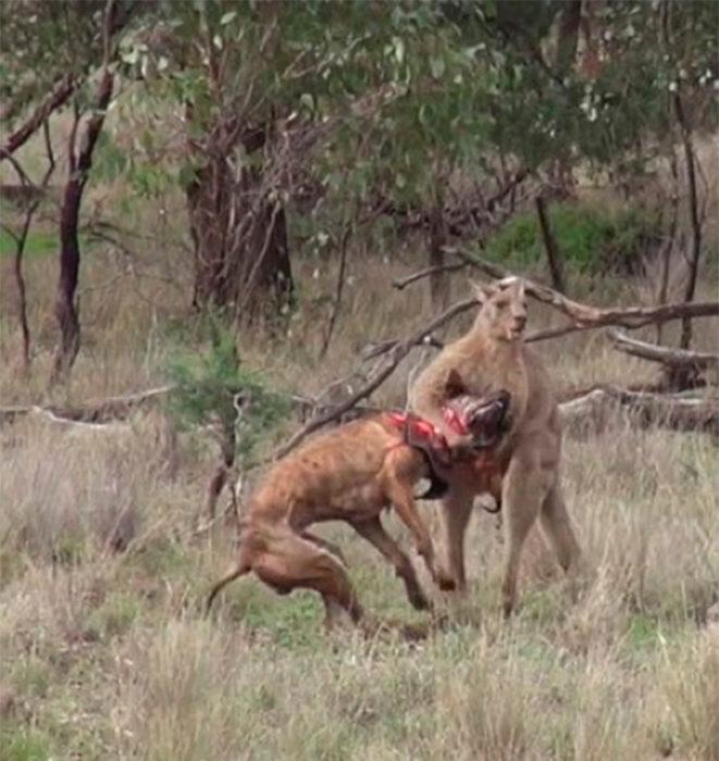 Canguro secuestra a un perro