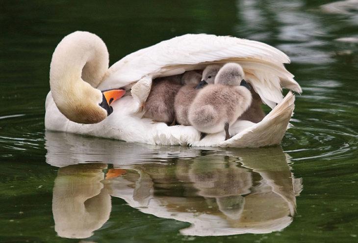 madre cisne y polluelos