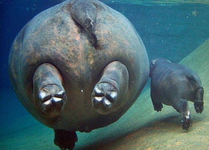 mamá y bebé hipopótamos