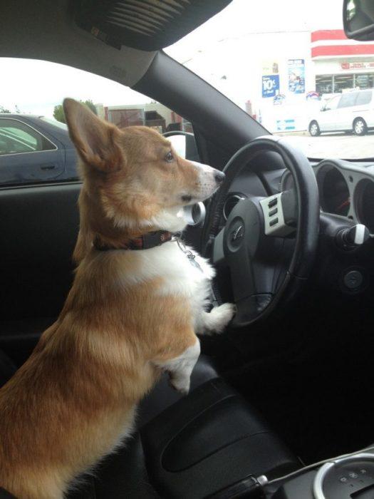 perro manejando con estilo