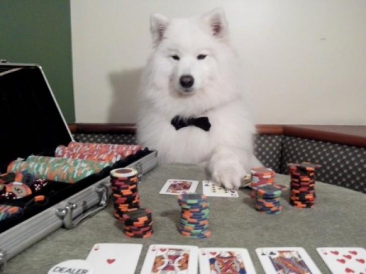 perro jugando póker