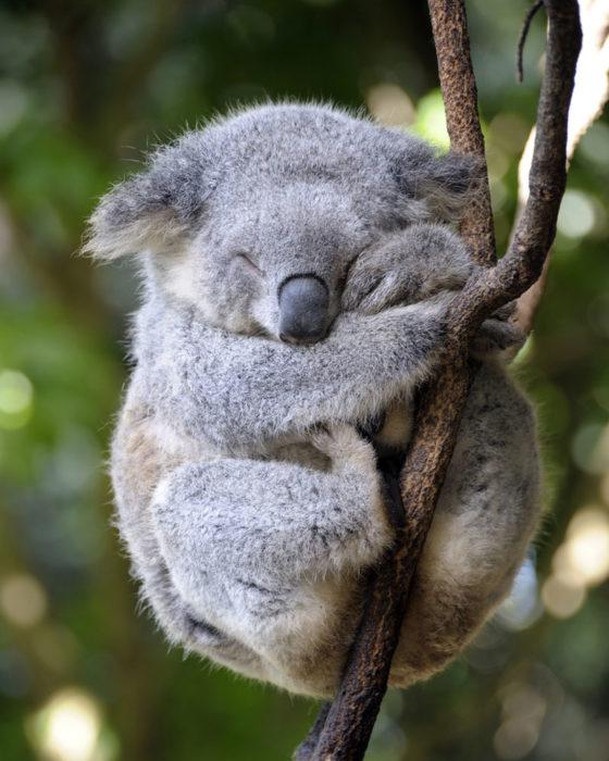mamá koala abrazando a su cría