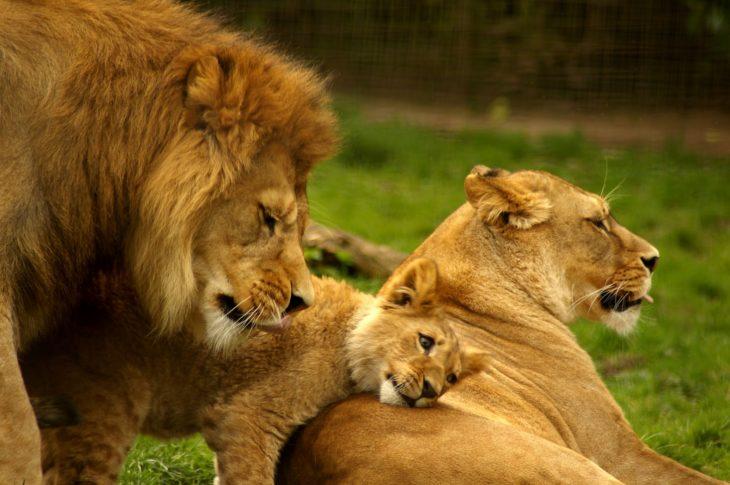 familia de leones