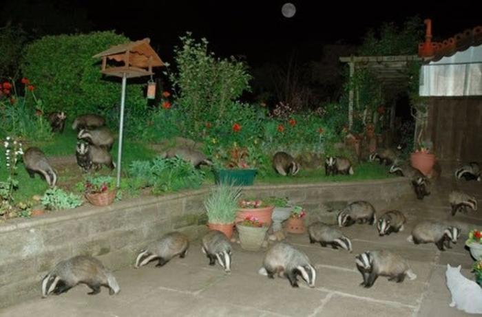 mapaches en grupo