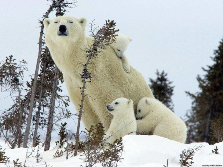 Mamá oso polar y sus crías