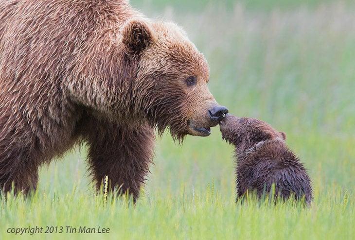 Mamá osos grizzly y su pequeño