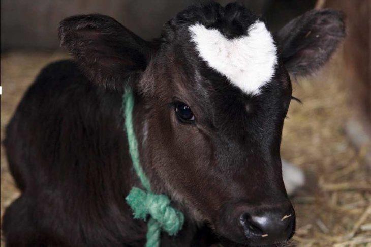 vaca con corazón en el pelaje