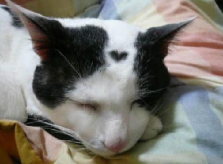 gato con corazón en el pelo