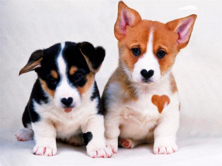 perritos con corazón en el pelaje