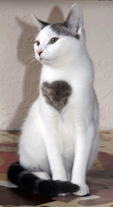 gato con corazón en el pelaje