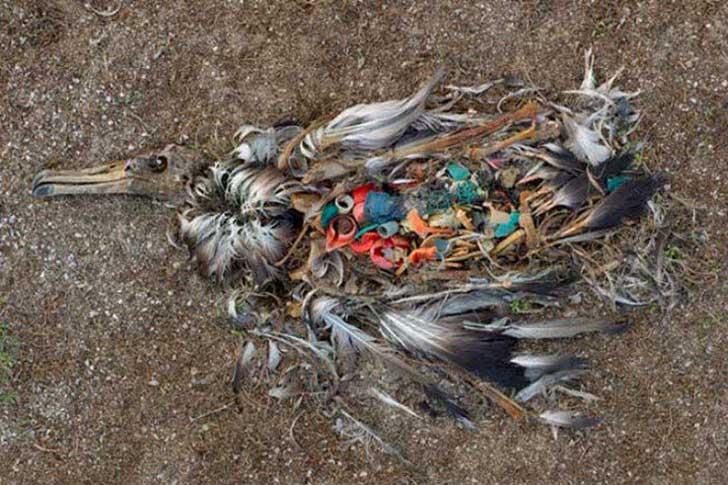 cadáver de pájaro en el mar lleno de plástico