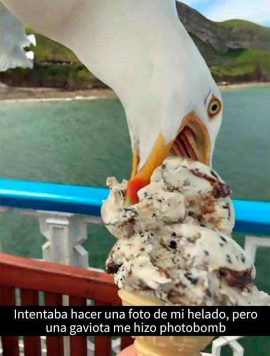 gaviota comiéndose un helado